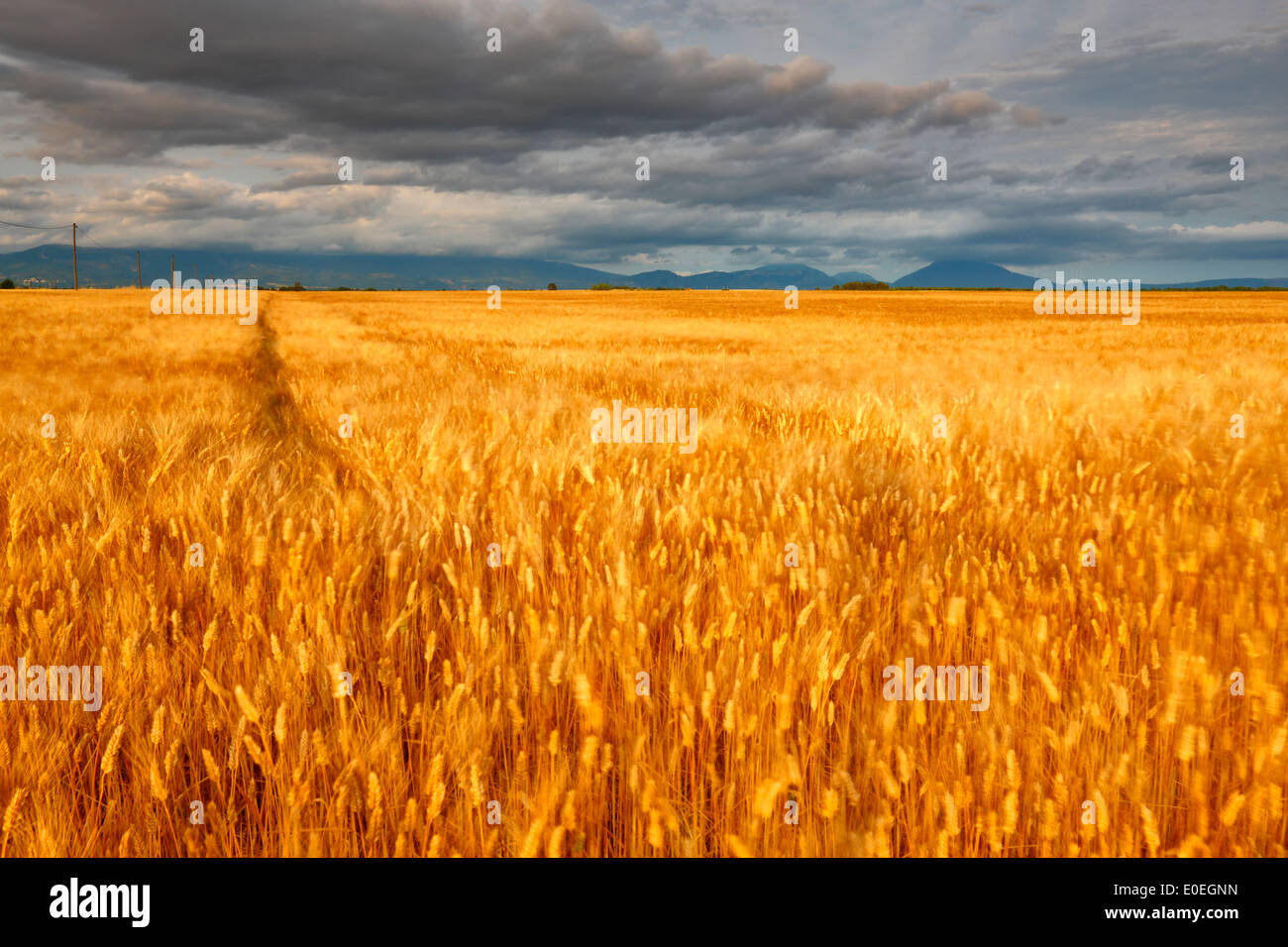 Wheat field in France, Provence - Stock Image