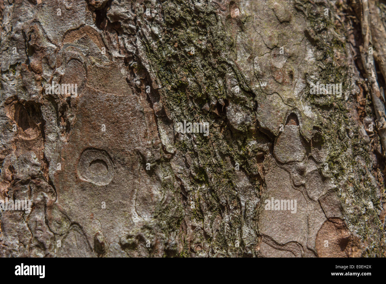Close detail of the tree bark of a Horse-Chestnut / Aesculus hippocastanum tree. Tree bark close up. - Stock Image