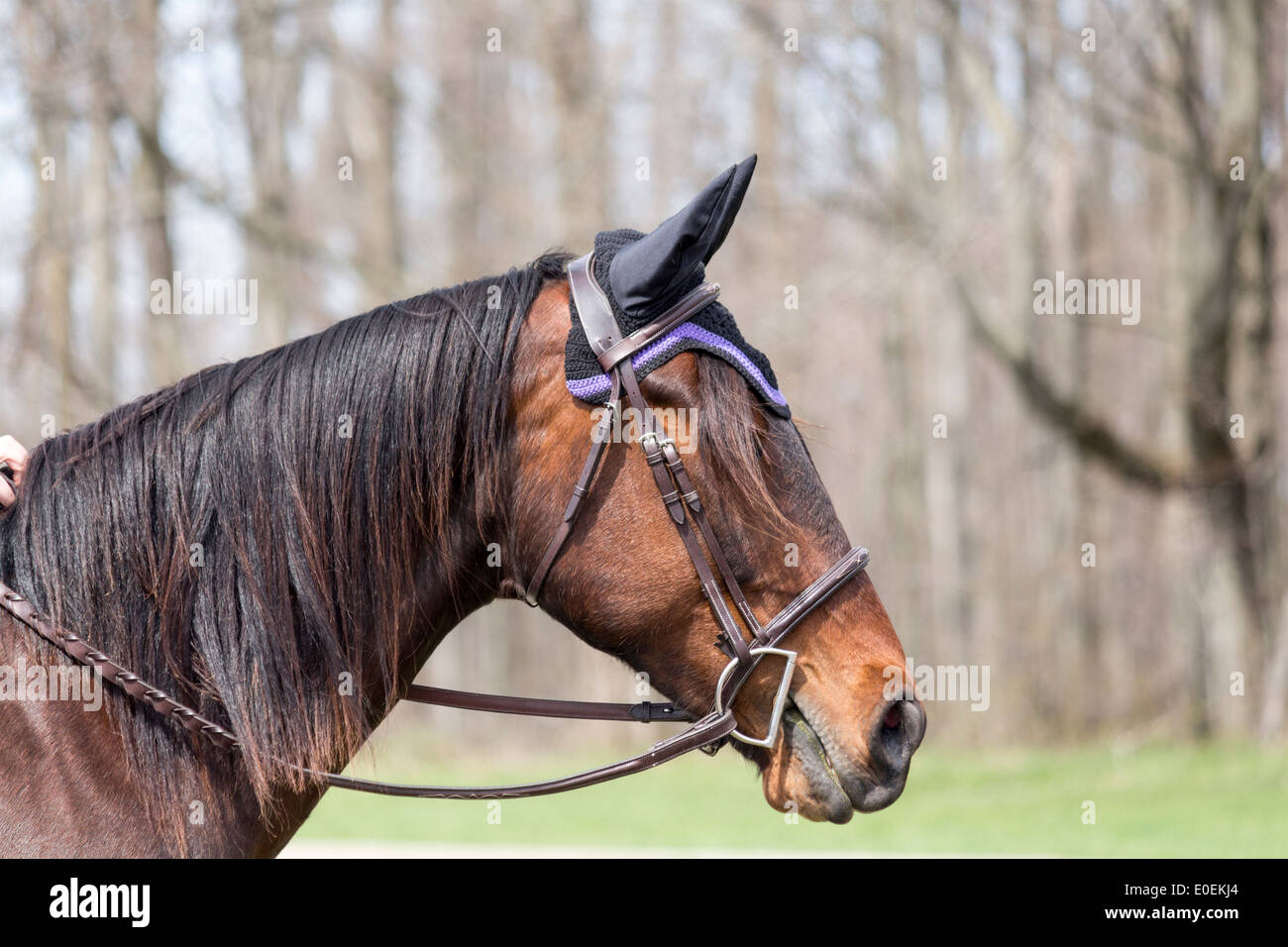 Bay horse head wearing english snaffle bridle with D-bit and ear protectors. - Stock Image