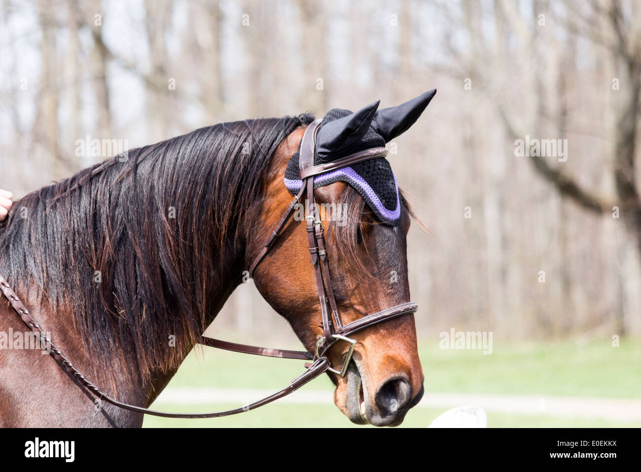 Bay horse head wearing english snaffle bridle with D-bit and ear protectors - Stock Image