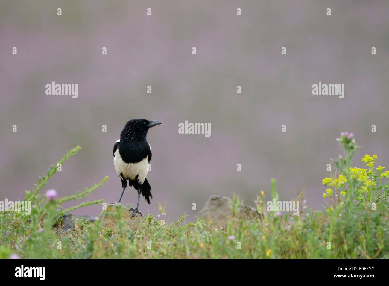 Magpie (Pica pica) with flowers in foreground. - Stock Image