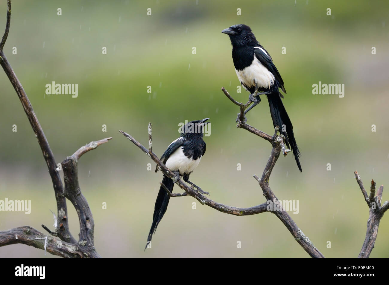 Two magpies (Pica pica) quarreling in a tree. - Stock Image