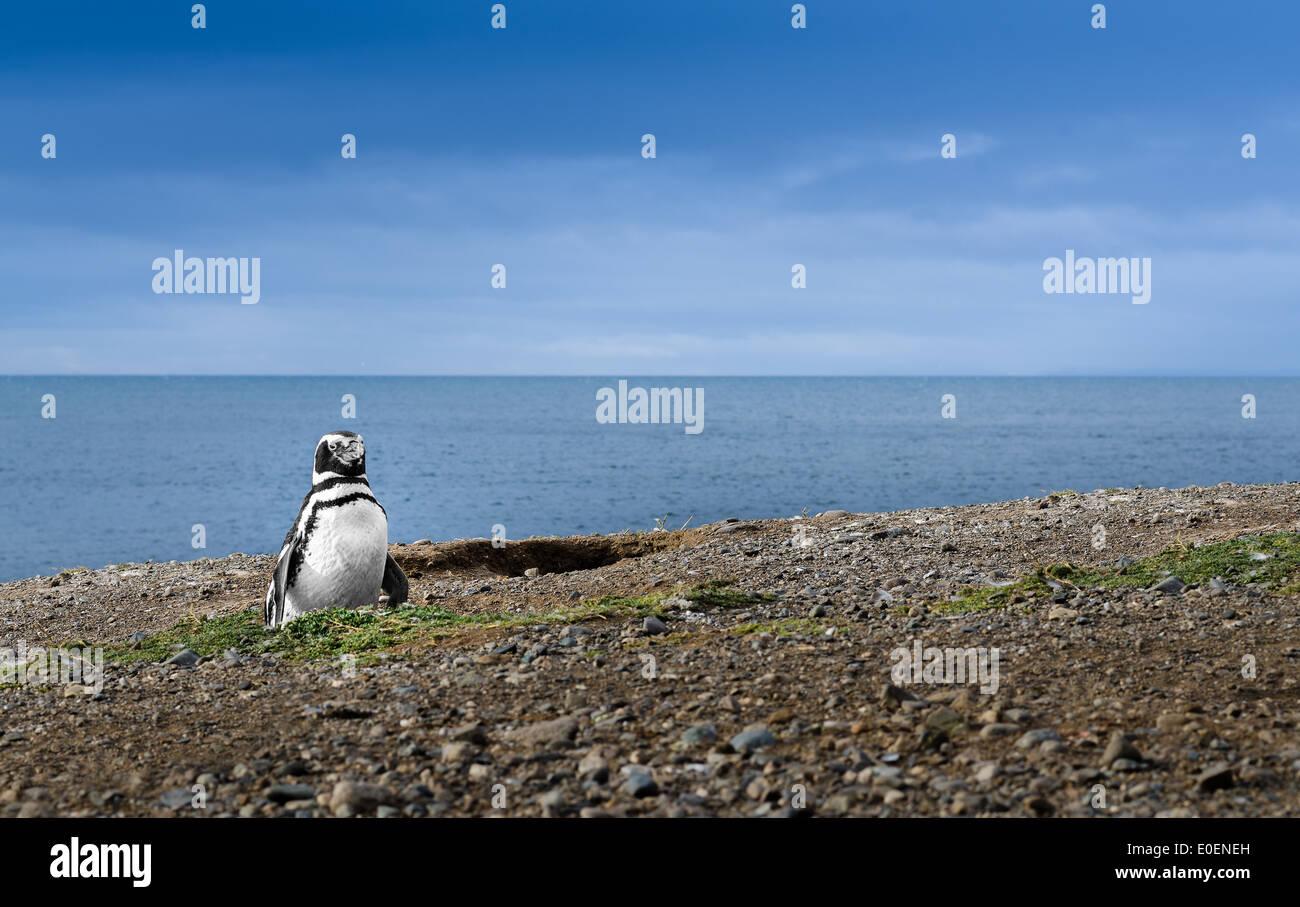Penguin in Patagonia. Awe Inspiring Travel Image. High definition image. - Stock Image