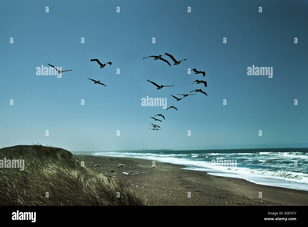 Squadron of Pelicans in flight over beach - Stock Image
