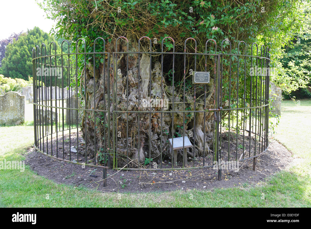 Ancient yew tree in Chilham Church Kent England UK fatally damaged in the great storm October 15 1987 - Stock Image