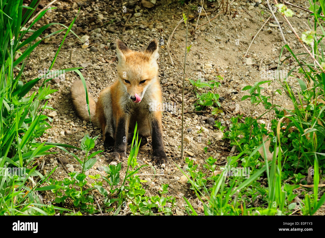Red Fox kit sitting on slope outside of it's den. Licking his face after breakfast.  (Vulpes vulpes) - Stock Image