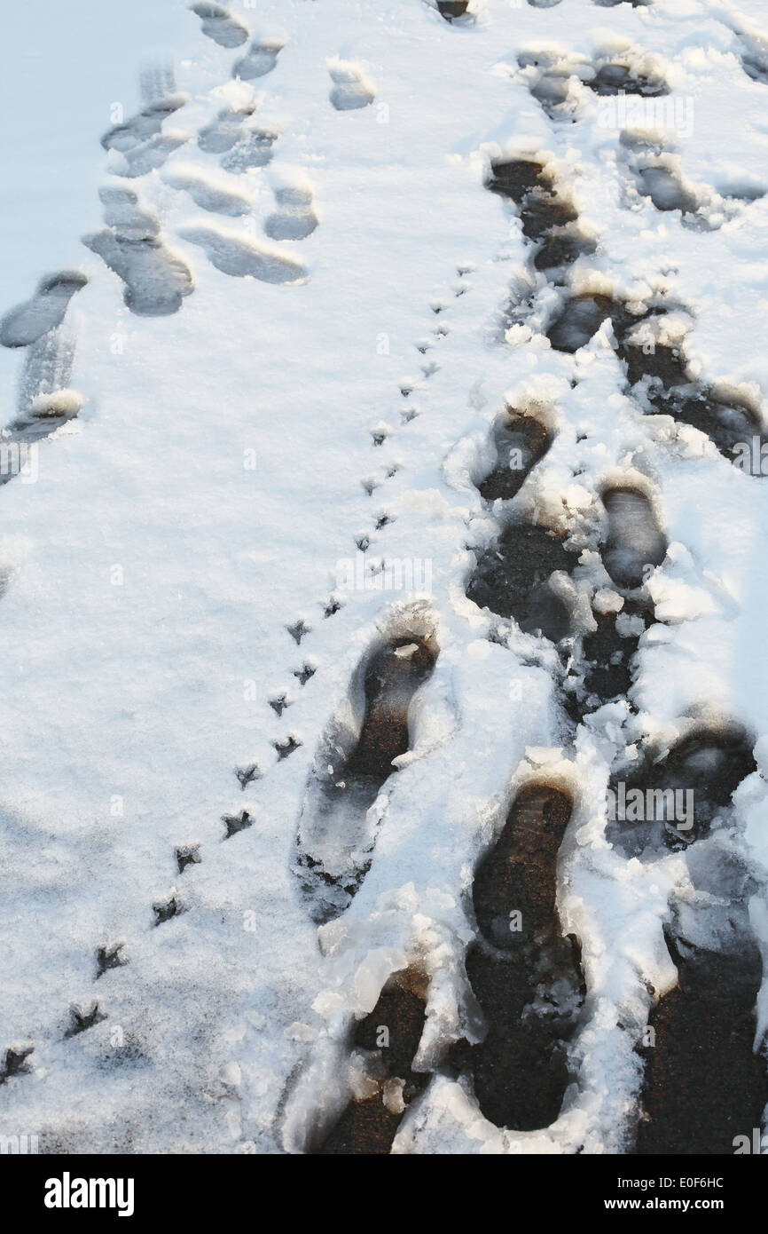 A set of bird prints next to human foot prints, in the snow. - Stock Image