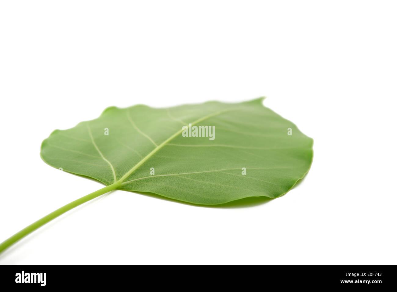 bodhi leaf isolated Stock Photo
