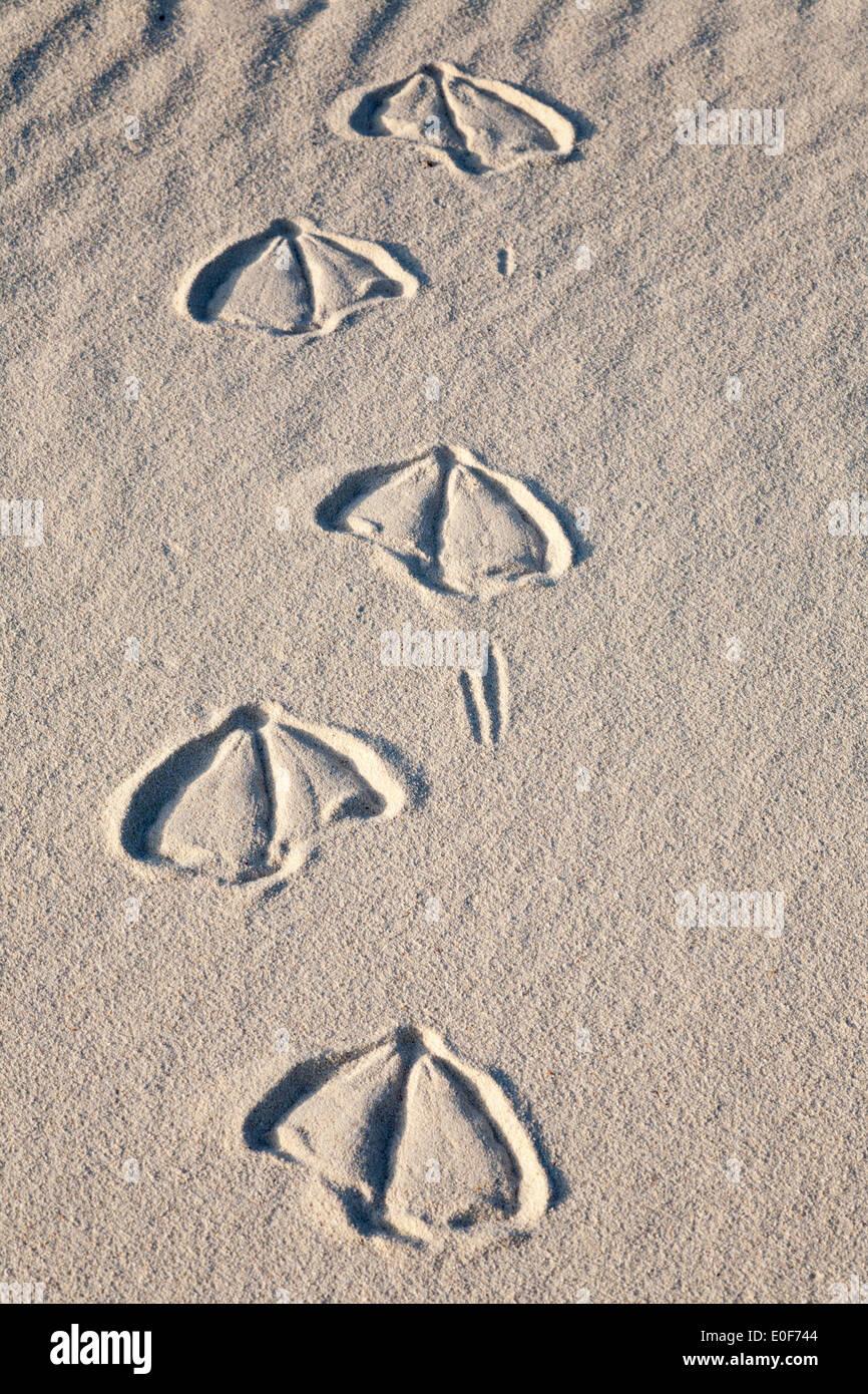 Laysan albatross footprints in beach sand - Stock Image