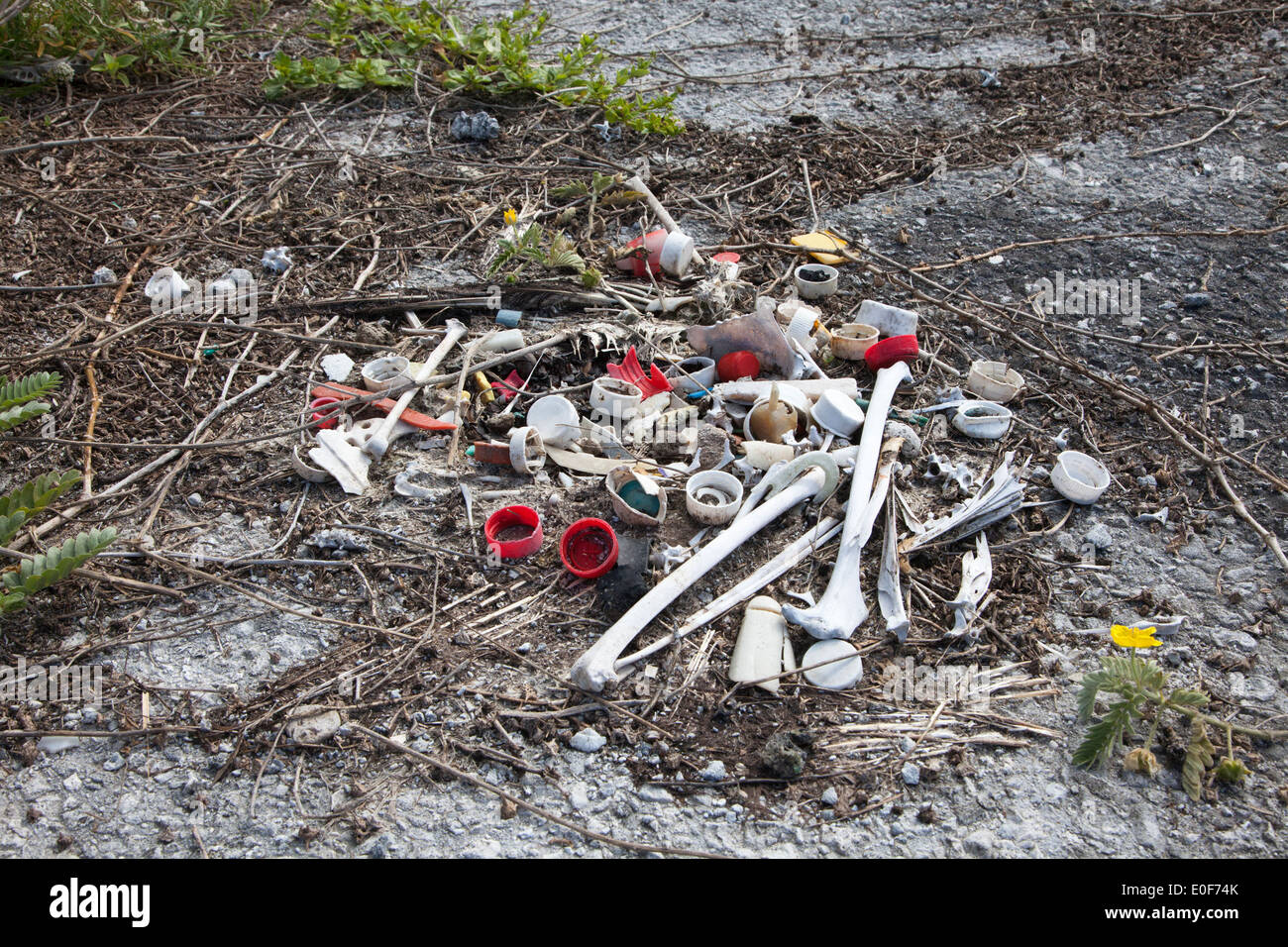 Remains of dead Laysan Albatross with bottle caps and other plastic marine debris which were ingested by the bird and remained in its stomach - Stock Image