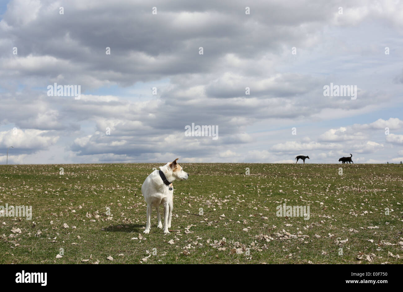A dog standing in a grassy field looking at two other dogs behind him. - Stock Image