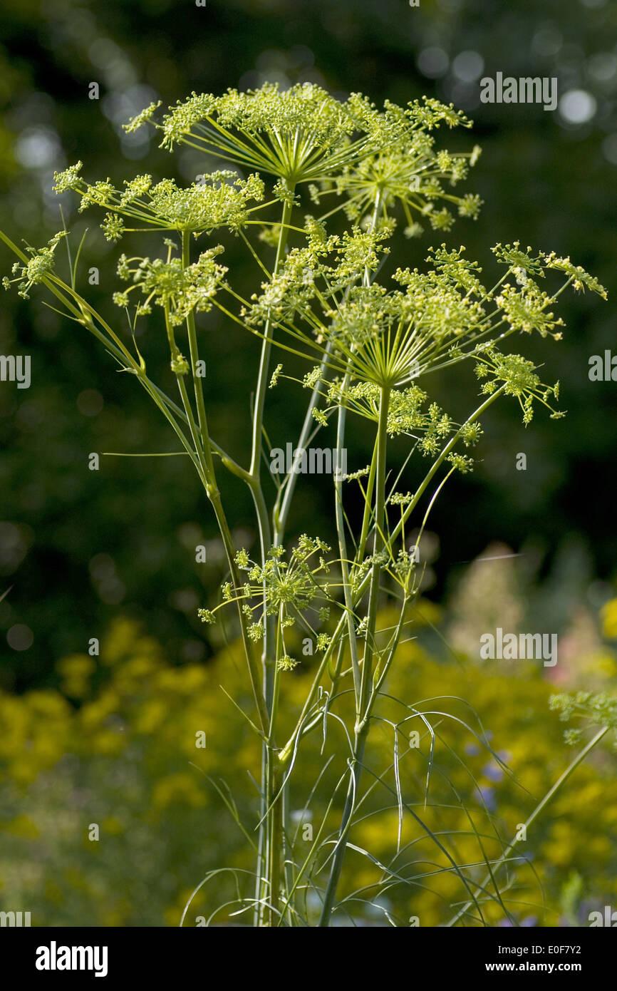 hog's fennel, peucedanum officinale - Stock Image