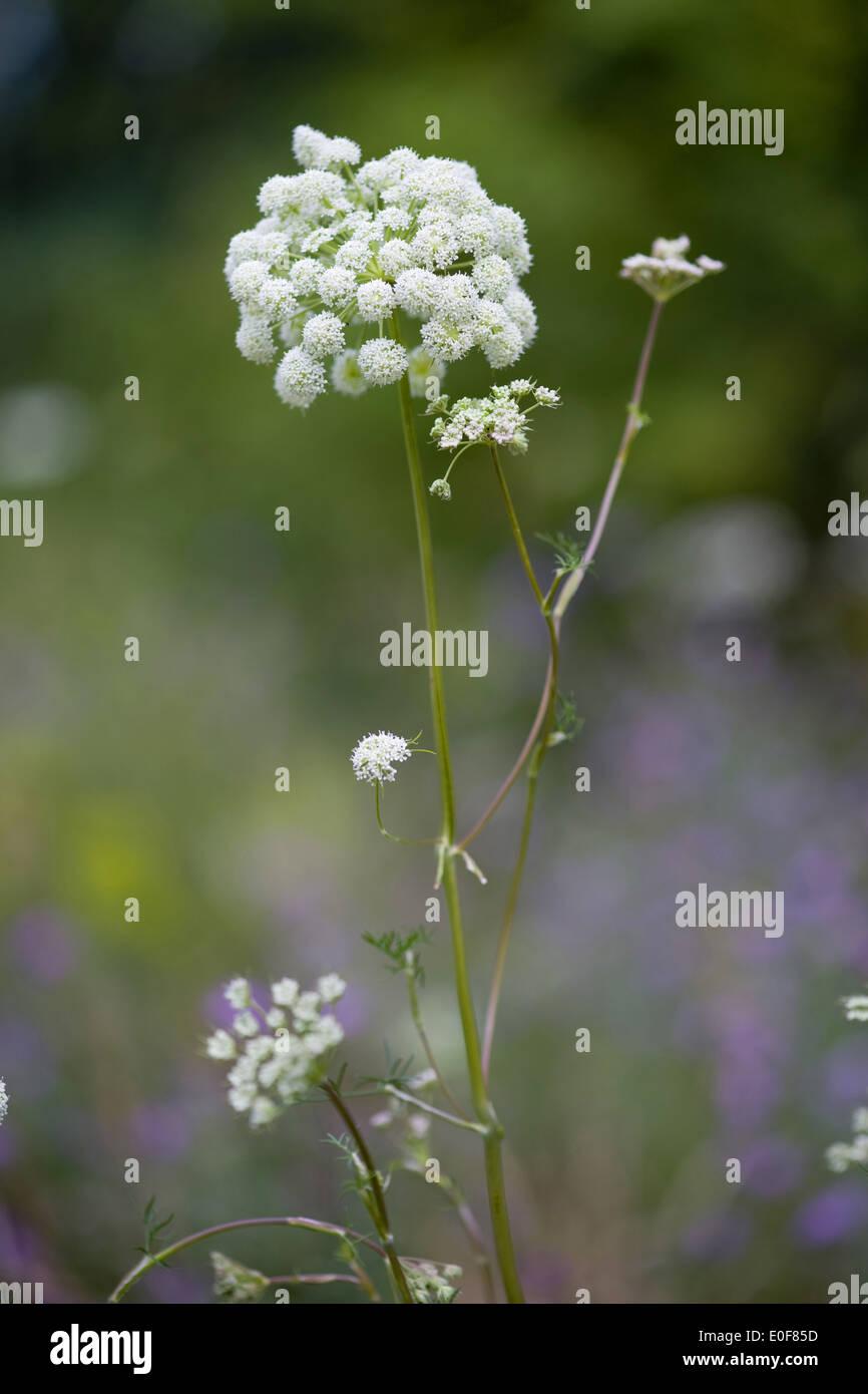 seseli annuum - Stock Image
