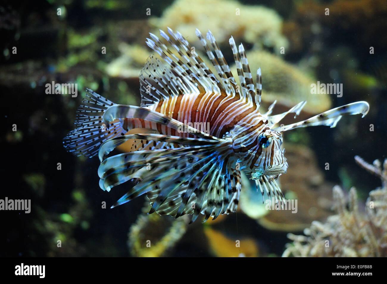 Feuerfisch • Nürnberg, Bayern, Deutschland - Stock Image