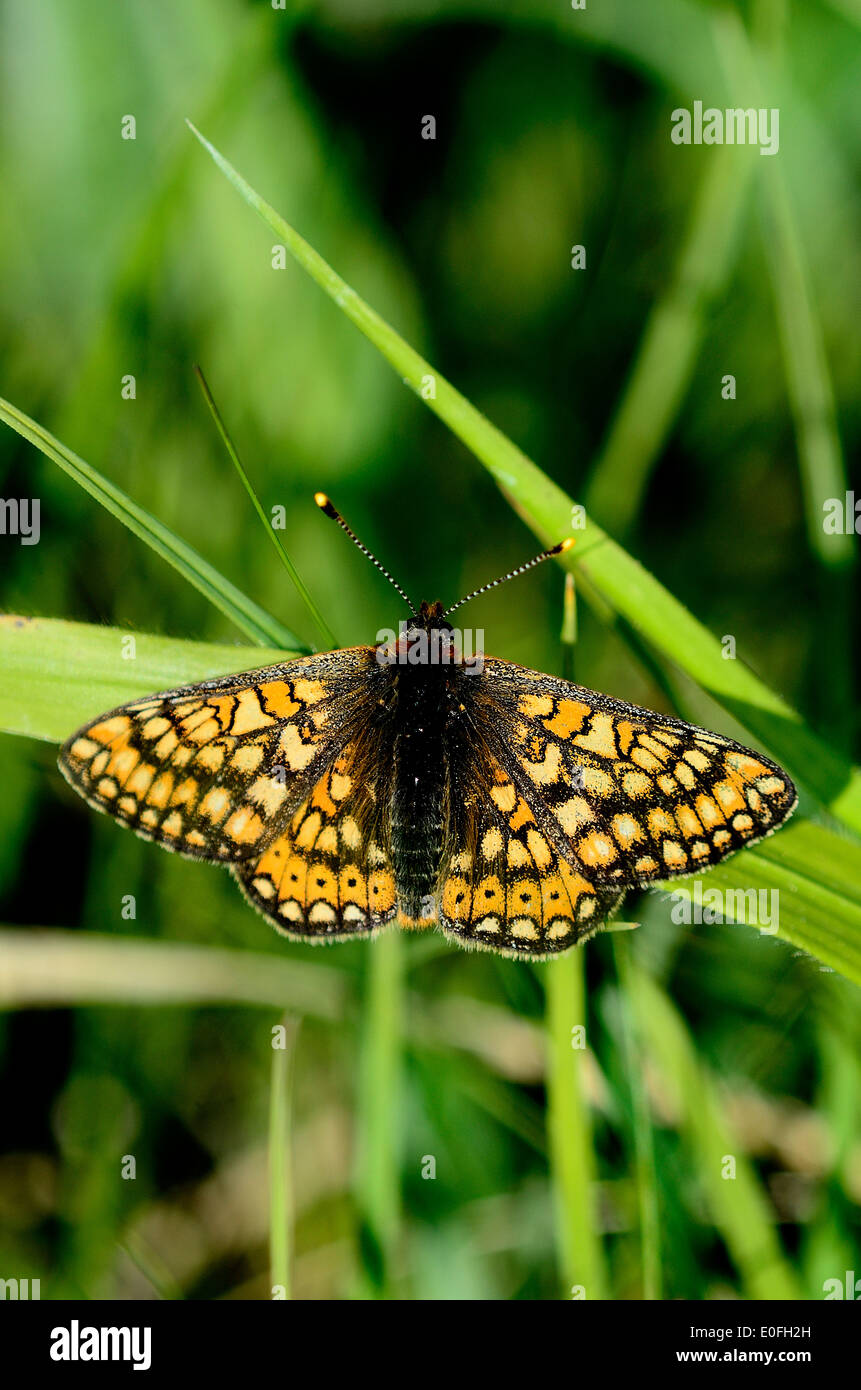 marsh fritillary euphydryas aurinia Nymphalidae butterfly insect invertebrate portrait - Stock Image
