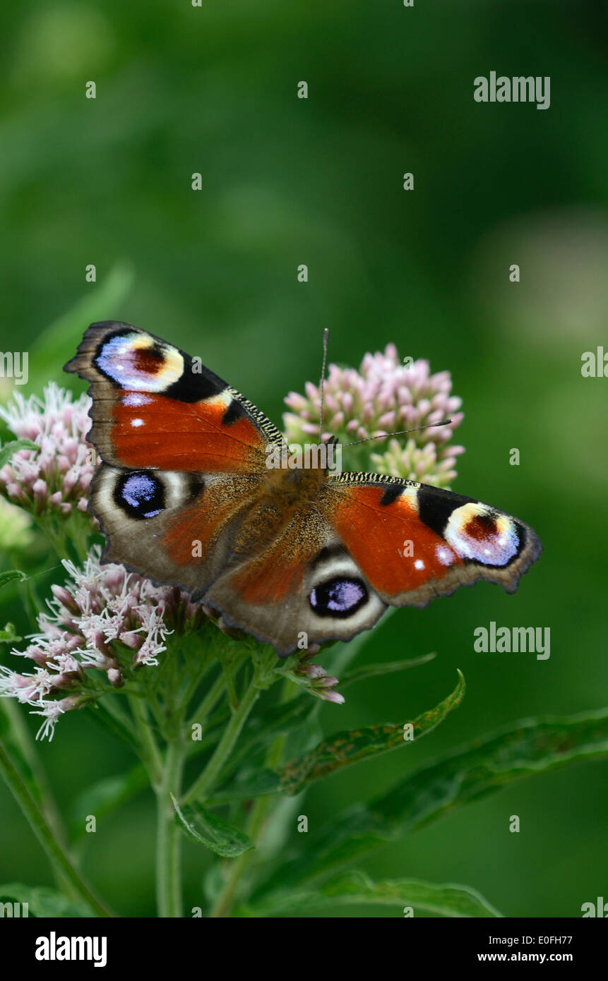 peacock butterfly inachis io insect invertebrate portrait - Stock Image