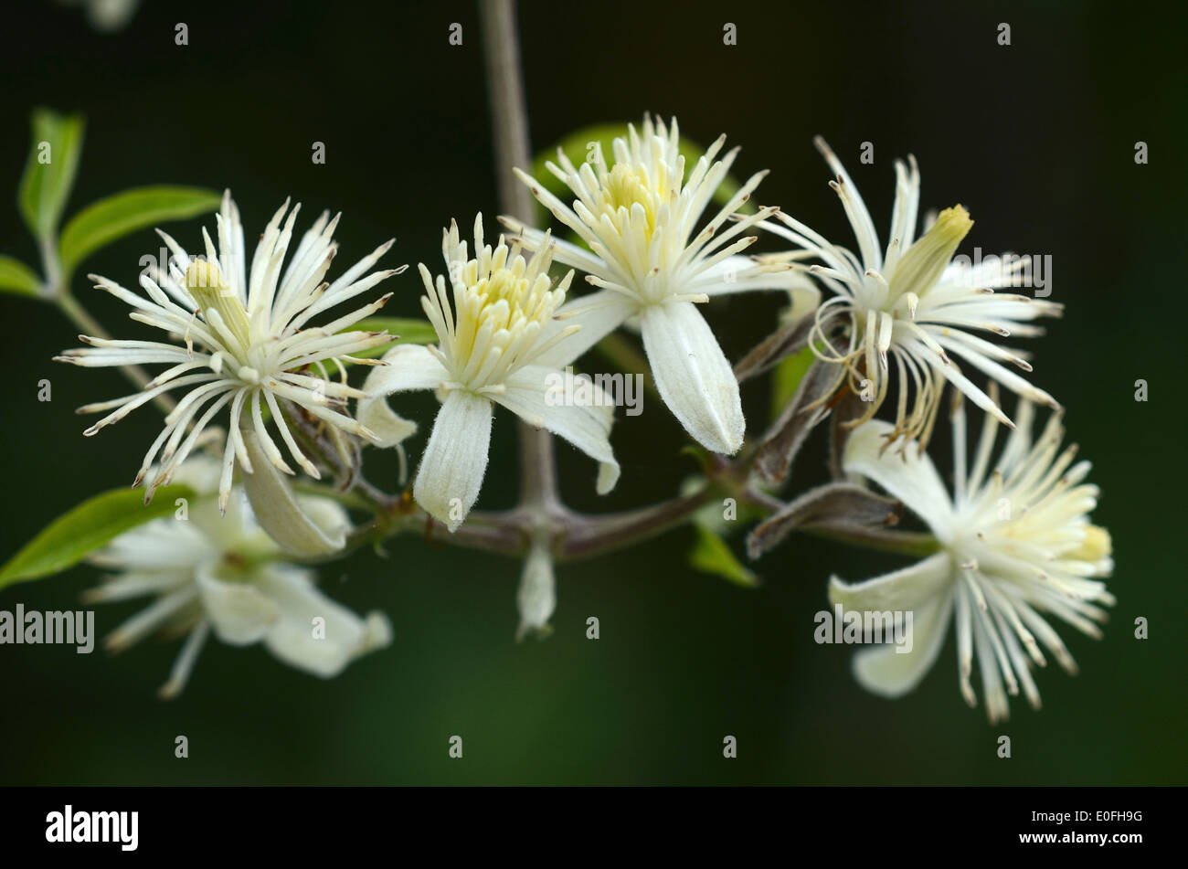 traveller's joy clematis vitalba perennial climber - Stock Image