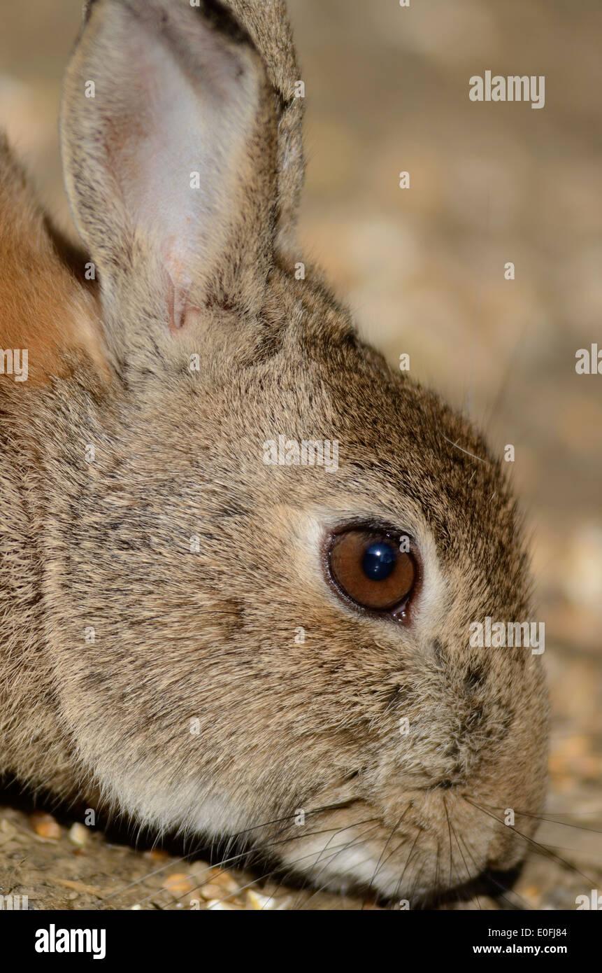 rabbit oryctolagus cuniculus mammal long-eared burrowing Lagomorpha Leporidae portrait close-up - Stock Image