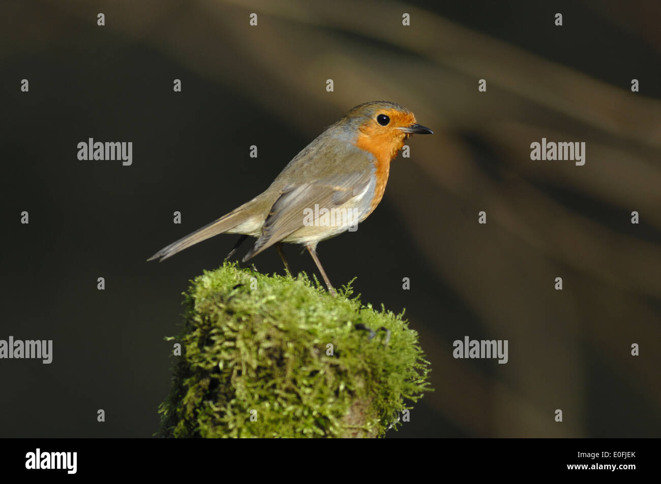 A robin on a mossy fence post UK - Stock Image