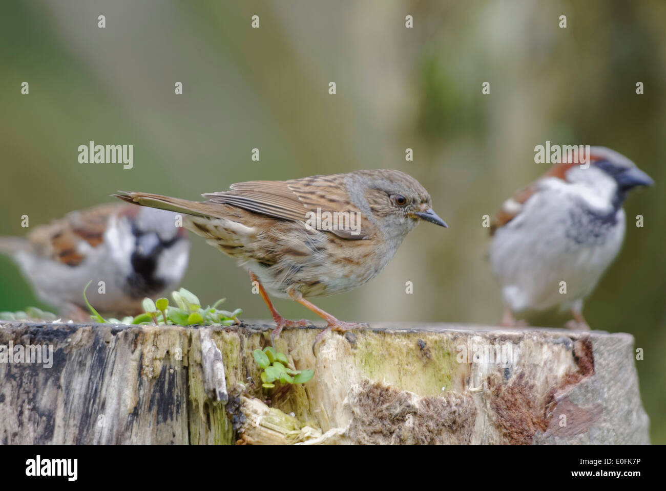Welsh Garden Birds: two tree sparrows and a dunnock perch on a tree stump - Stock Image