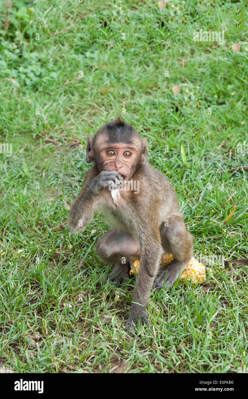 Baby Long-tailed Macaque or Crab-eating Macaque (Macaca fascicularis), Thailand, Asia - Stock Image