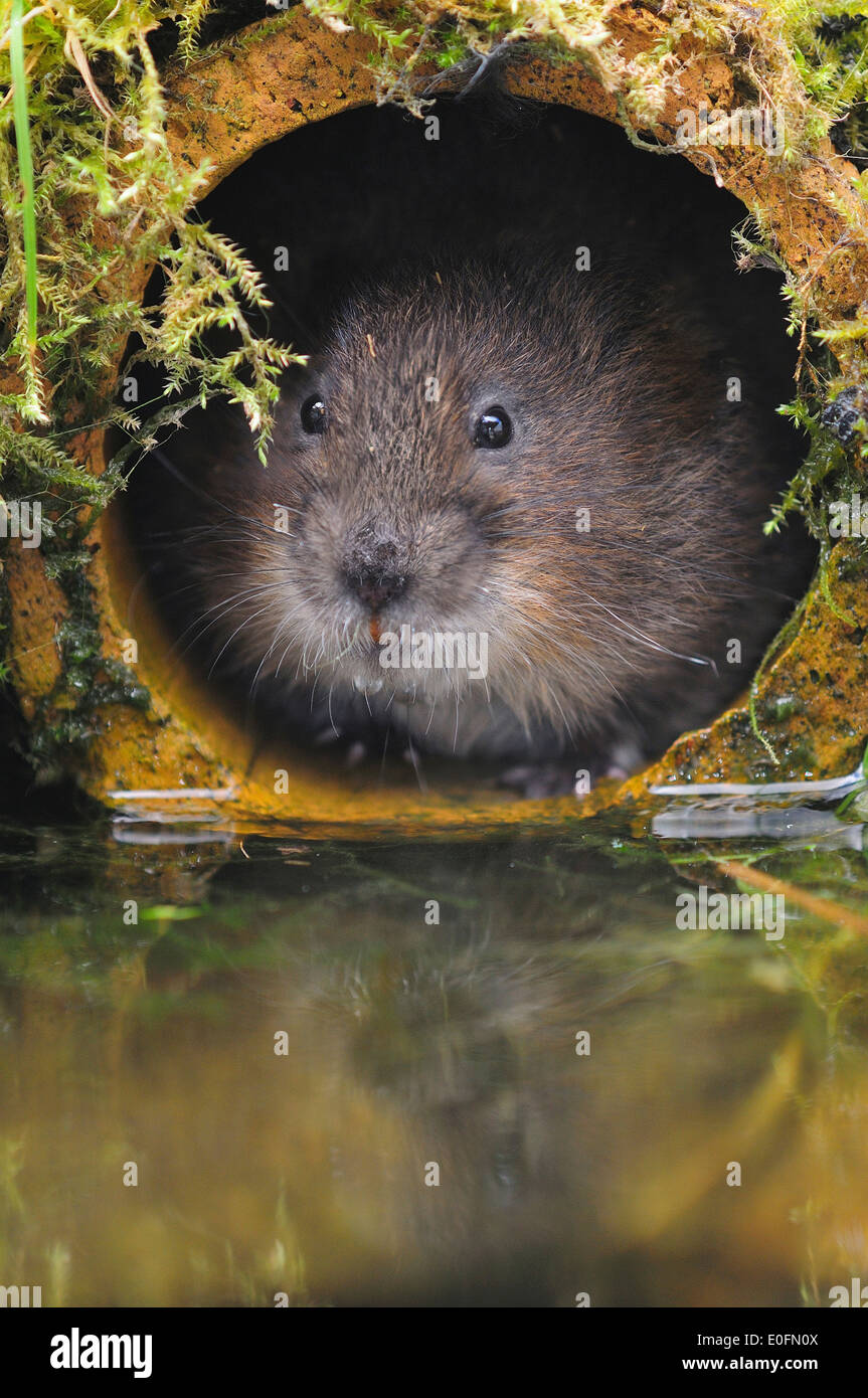 Water vole in a pipe UK - Stock Image