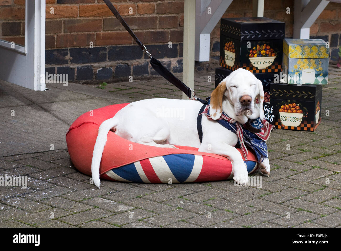 Cross bred hound laying on a Union jack Beanbag with stars and stripes Neckerchief around his neck - Stock Image