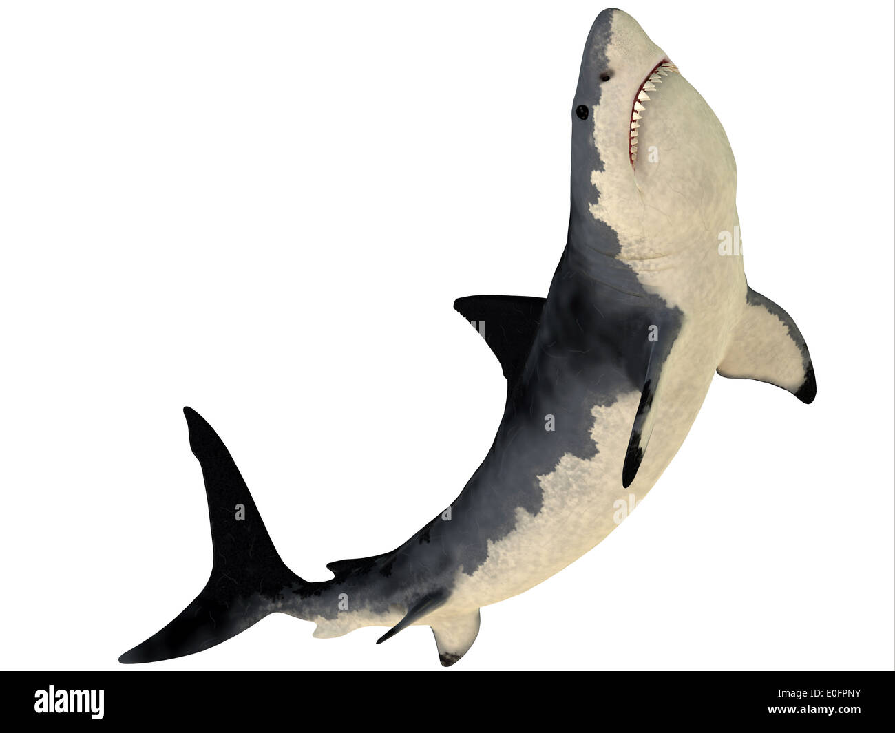 Megalodon is an extinct species of shark that grew to 18 meters or 59ft and lived in the Cenozoic Era. - Stock Image