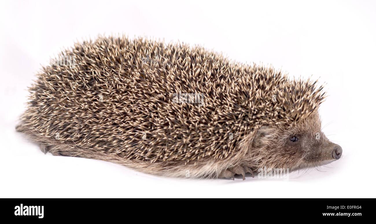 European hedgehog on white background - Stock Image