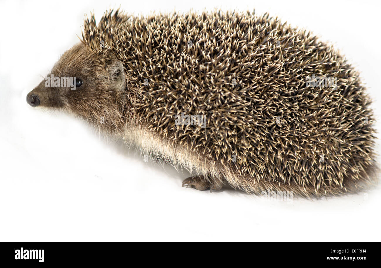 European hedgehog on white background - Stock Image