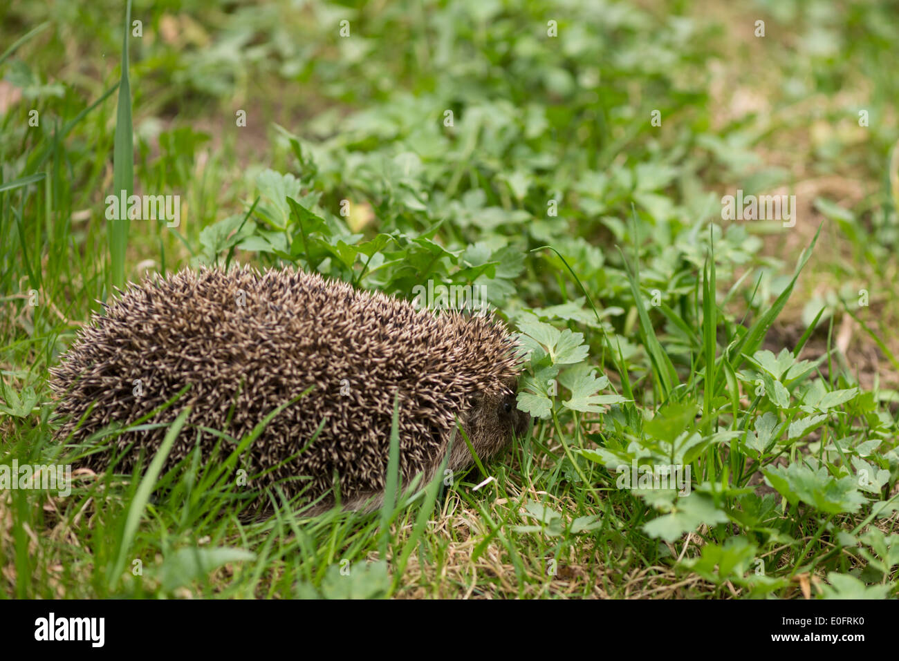 European hedgehog among green grass - Stock Image