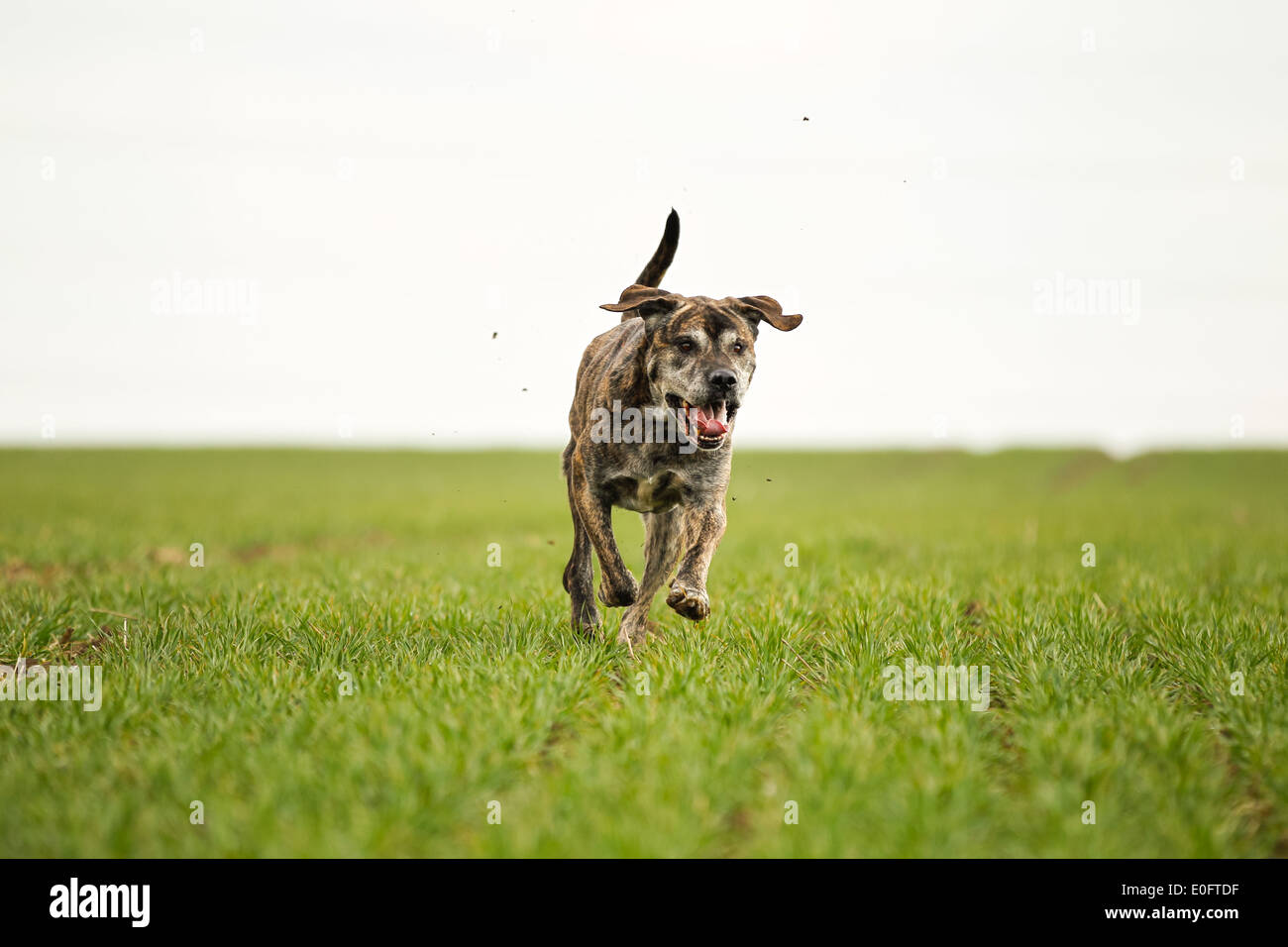 Mixed Bred Dog A Mix Of Cane Corso And Italian Mastiff Stock Photo