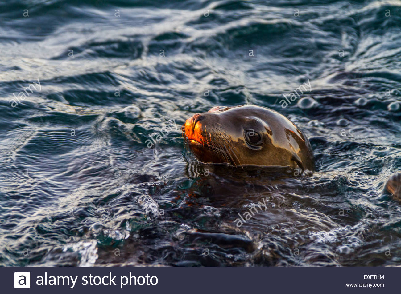 A California Sea Lion pokes its head above the waters of the Gulf of California in Mexico - Stock Image