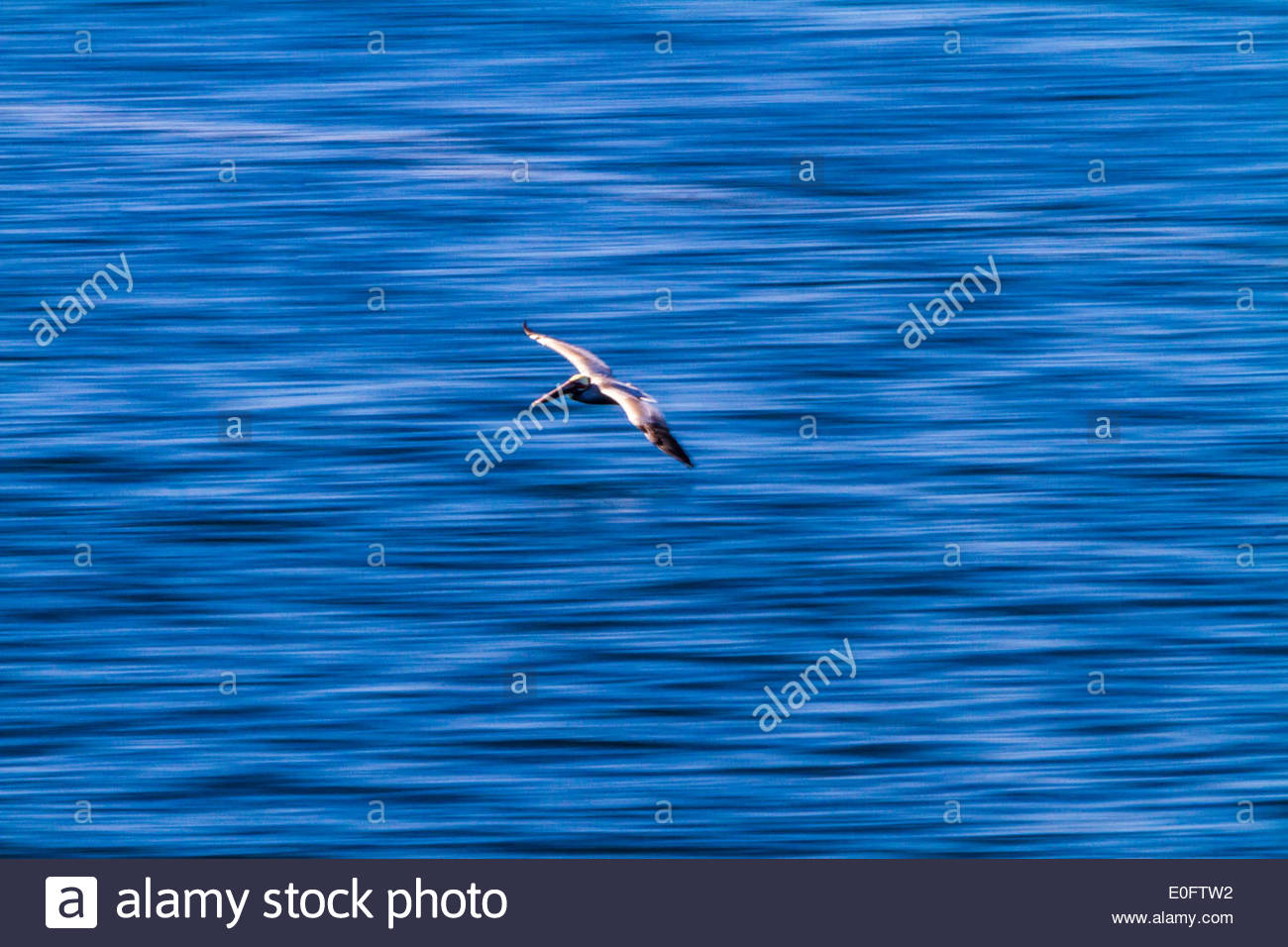 A pelican in flight is captured with a blurred background of the Gulf Of California, Mexico - Stock Image