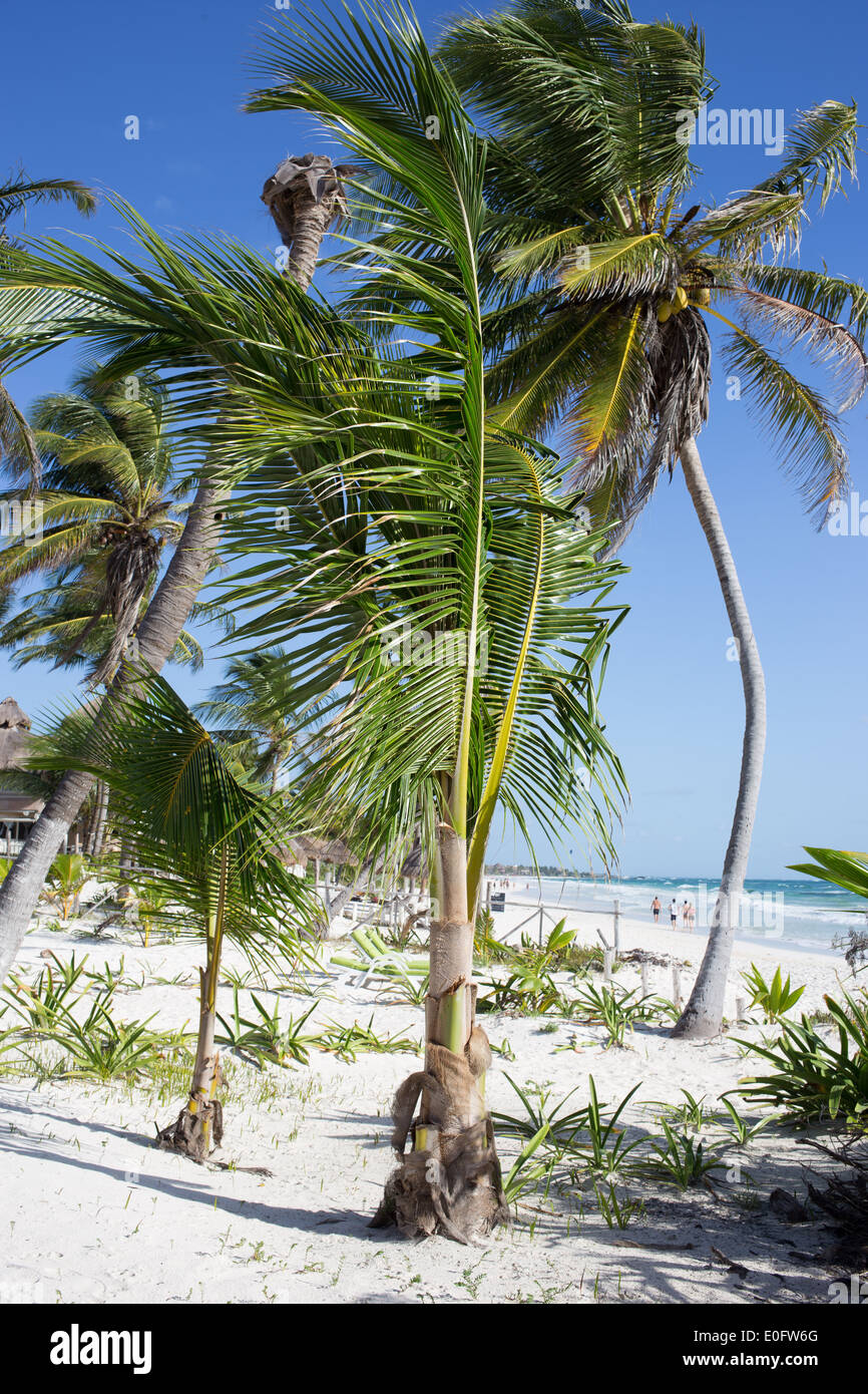 Palm trees on the beach in Tulum, Mexico blowing gently in the breeze against a bright blue sky - Stock Image