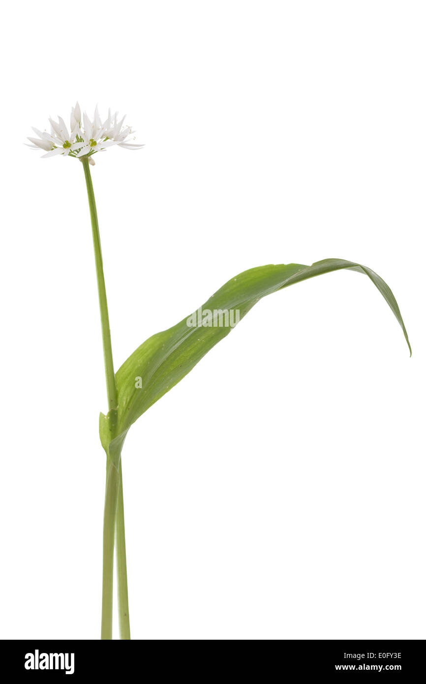 single flower and leaf of garlic on white - Stock Image