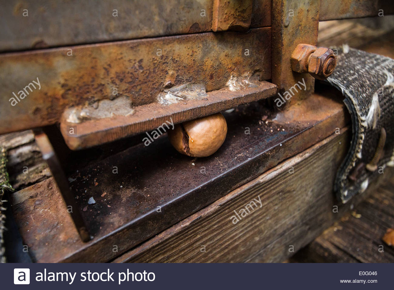 Crushing a Macadamia nut in a vise, Hawaii - Stock Image