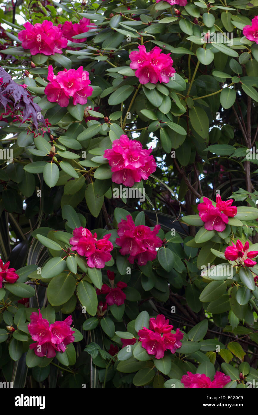 Flowers of the Rhododendron williamsianum hybrid, 'WillBrit' Stock Photo
