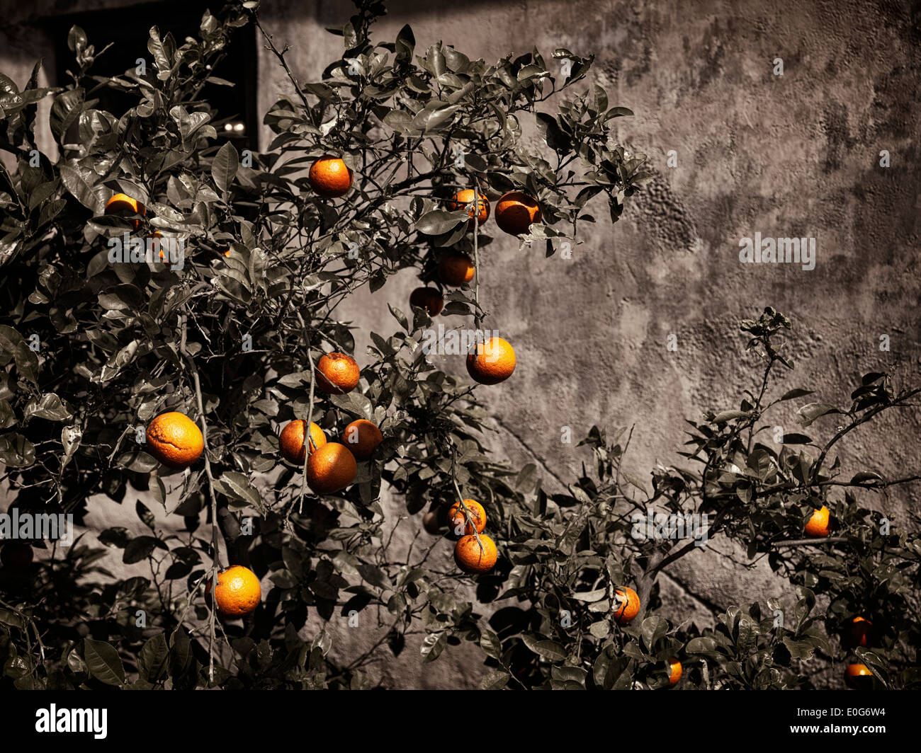 Orange tree on rustic old house wall grungy background - Stock Image
