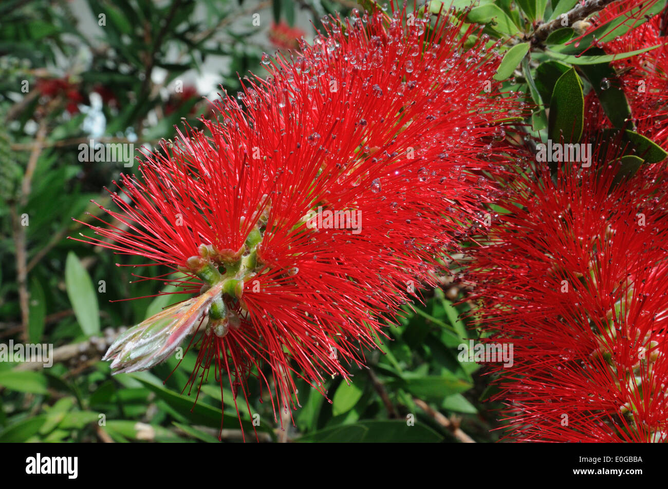 Droplets of water on Red Bottle bush flowers - Stock Image