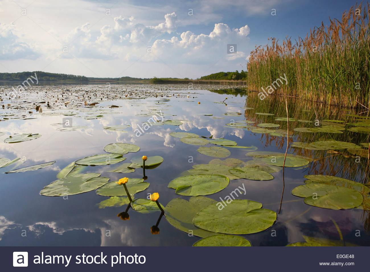 Water lilies on the surface of Gross Schauener Lake, Sielmann Naturlandschaft, Brandenburg, Germany - Stock Image