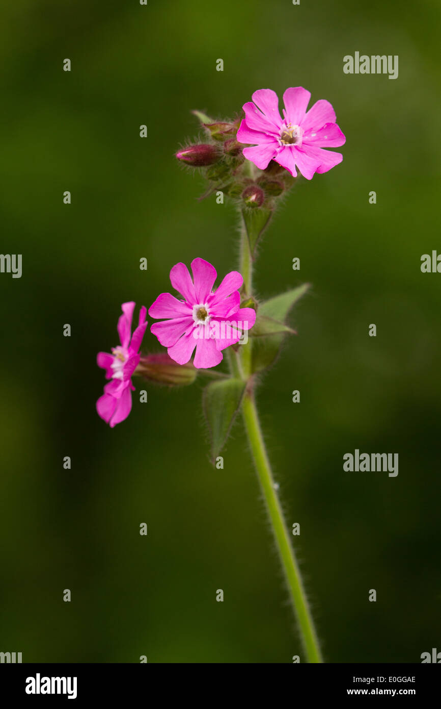 Red Campion (Silene dioica) Stock Photo