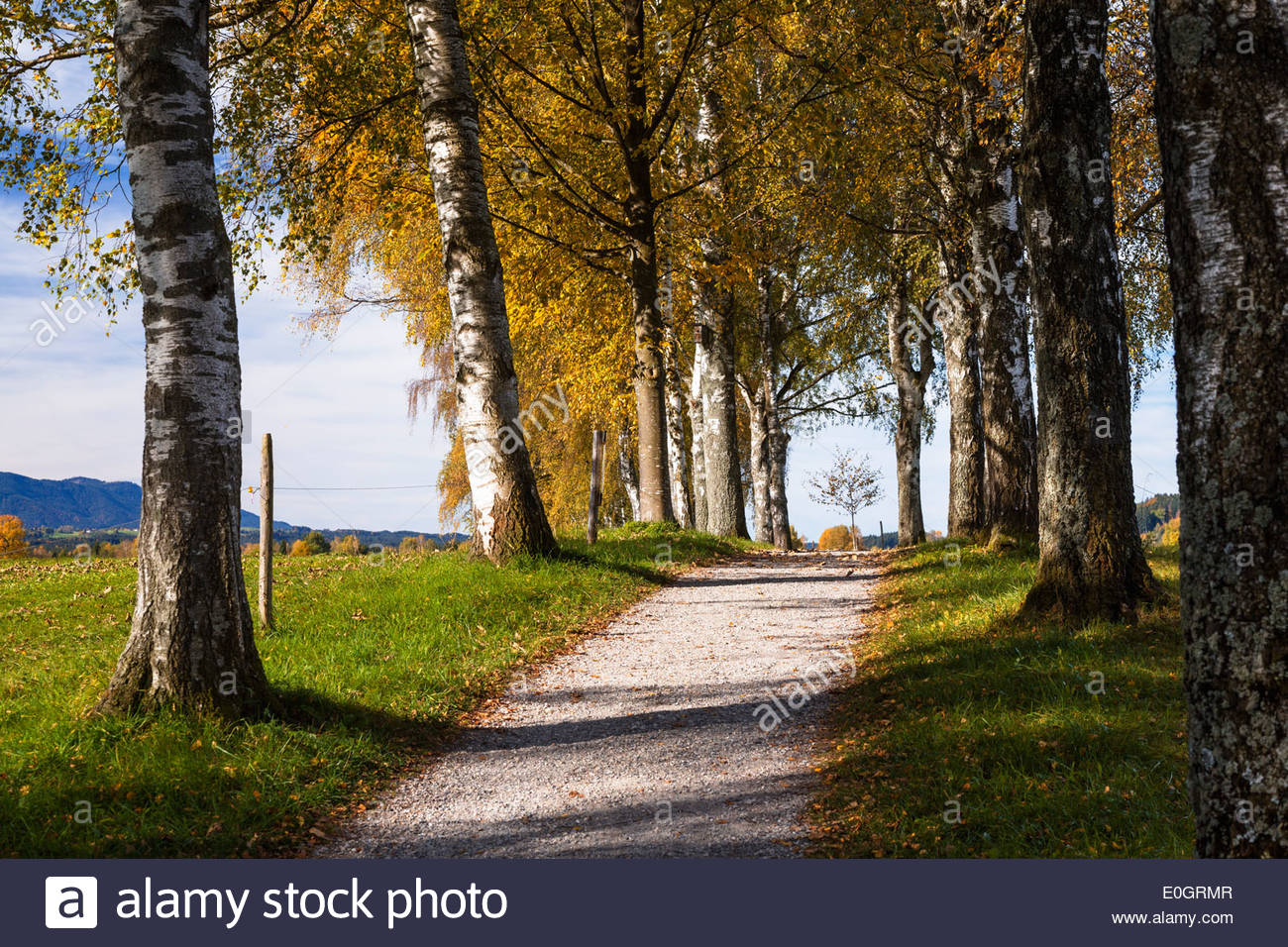 Birch-alley in autumn near Uffing at lake Staffelsee, Upper Bavaria, Bavaria, Germany - Stock Image