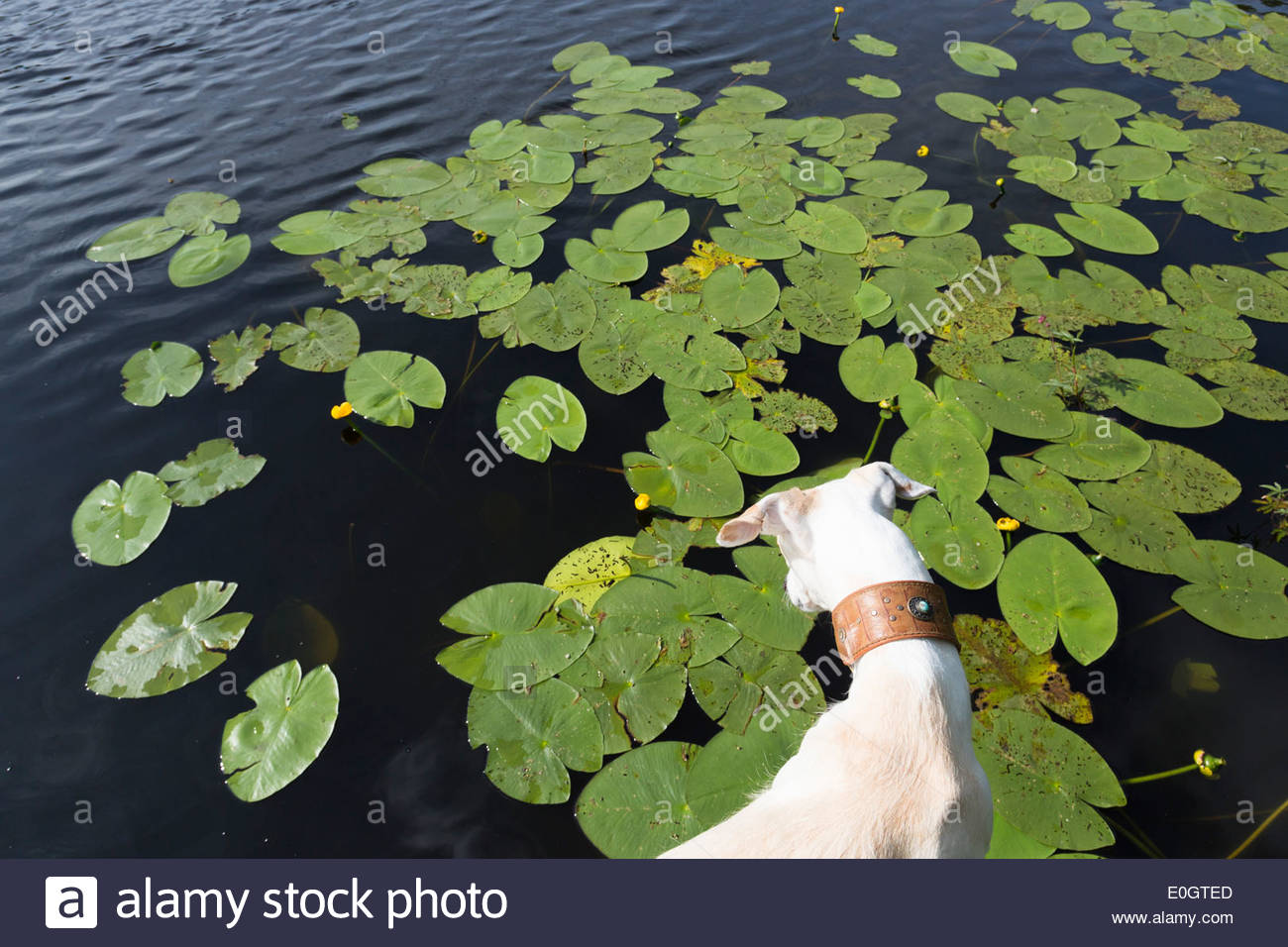 Water lilies in a pond stock photos water lilies in a pond stock dog looking at water lilies in a pond biosphere reserve spanish greyhound galgo izmirmasajfo Image collections