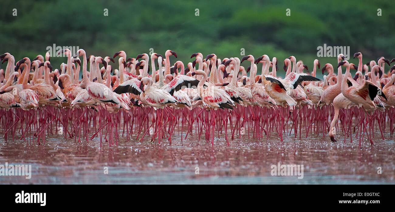 Of Lesser flamingos At brine Bogoria, Kenya, Lesser flamingos at Lake Bogoria - Stock Image