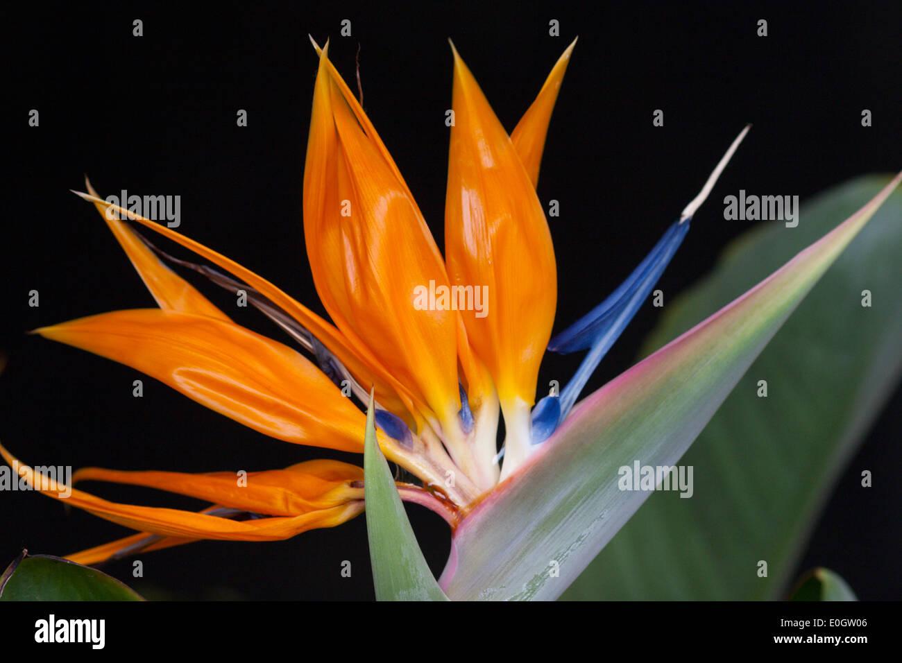 bird of paradise flower Strelitzia exotic orange blue Stock Photo