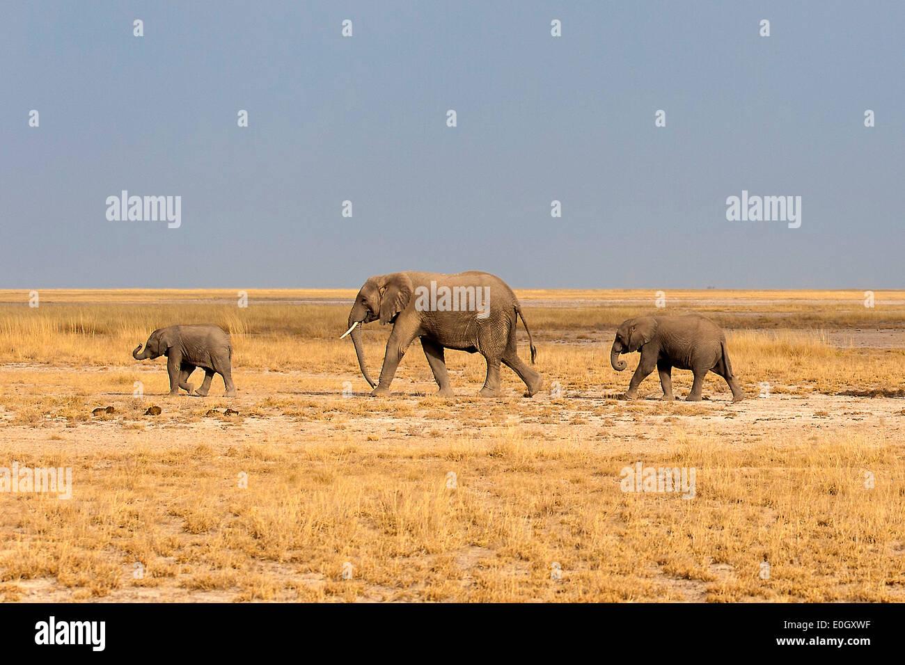 African elephants in Amboseli Nationwide park, Kenya., African elephants in Amboseli National Park - Stock Image