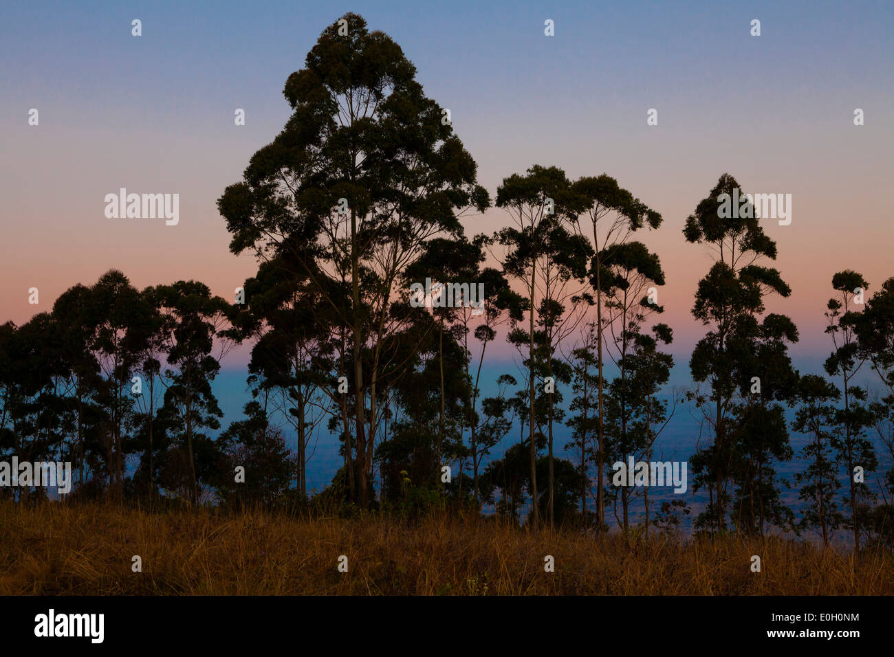 Silhouette of trees, Eucalyptus trees in the evening light on Zomba plateau, Malawi, Africa - Stock Image