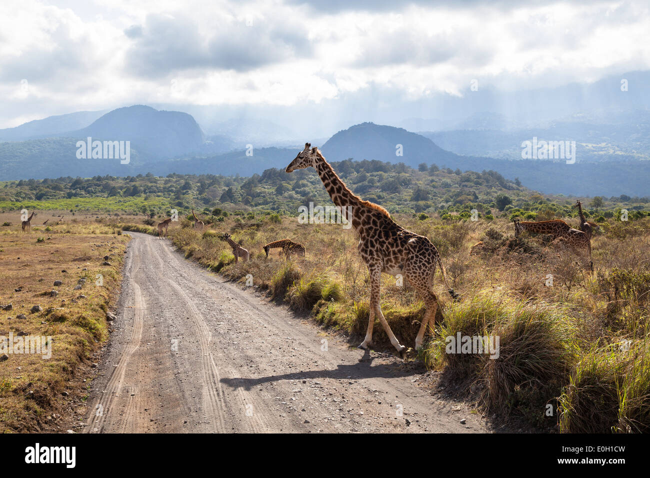 Massai Giraffe crossing the road, Giraffa camelopardalis, Mount Meru, Arusha National Park, Tanzania, East Africa, - Stock Image