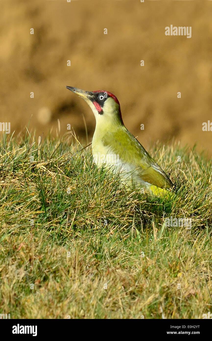 Grünspecht (Picus viridis) Green Woodpeckers • Ostalbkreis, Baden-Württemberg, Deutschland, Germany - Stock Image